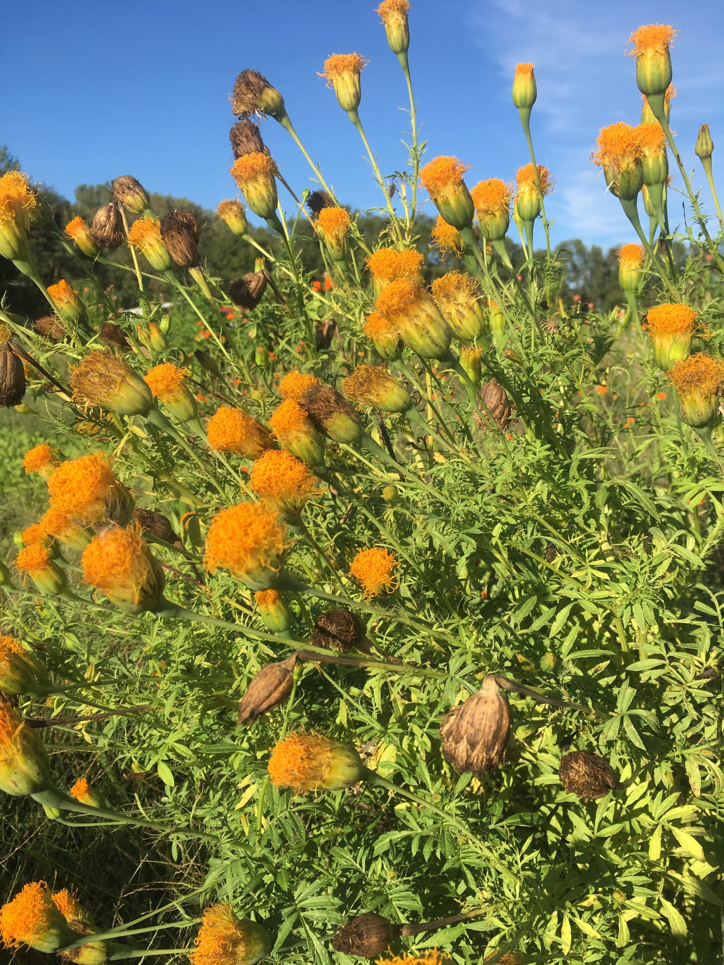 It's this just one of the most unique varieties of marigolds you have ever seen? This was planted by a previous person and came back.