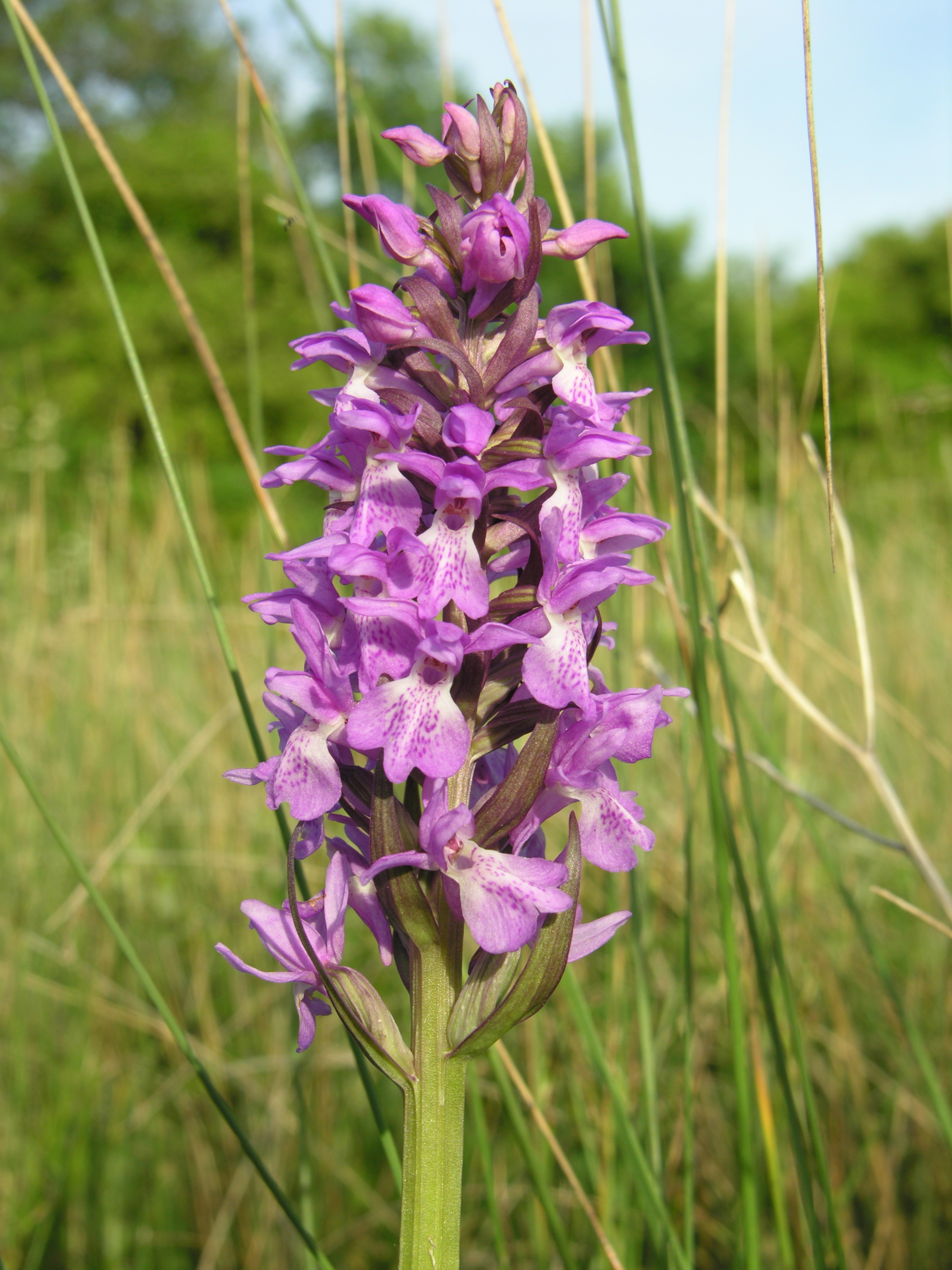Thriplow Meadow_Marsh Orchid no1_HS.JPG