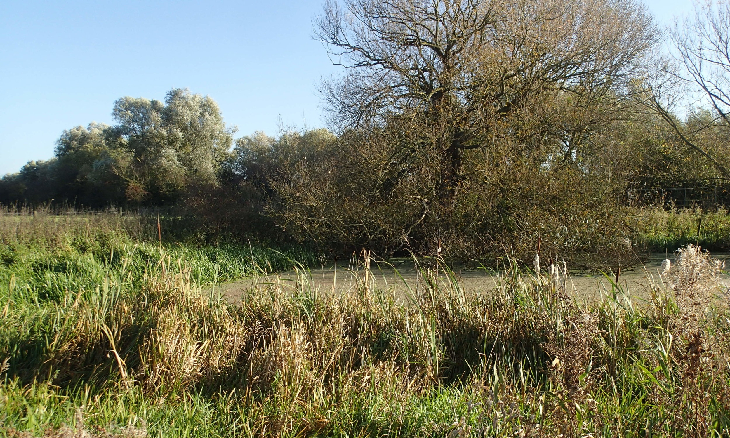 With more reeds and other vegetation, the upstream backwater provides a different habitat to the downstream site