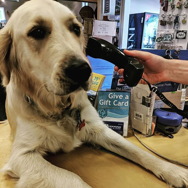 Monty's been busy taking all the calls today 🐾🐾🐾 . . . . . #bossdog #giantpuppy #bestdogever #goldenretriever #goldensofinsta
