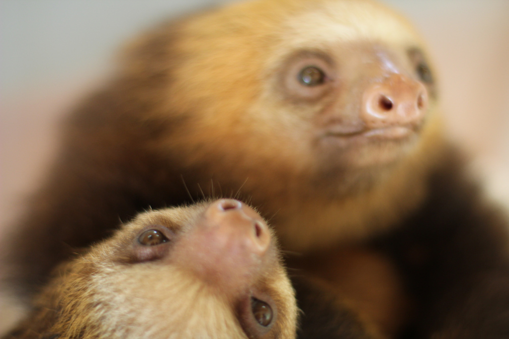 Baby sloths at the Sloth Sanctuary in Costa Rica © 2012, Okkema.