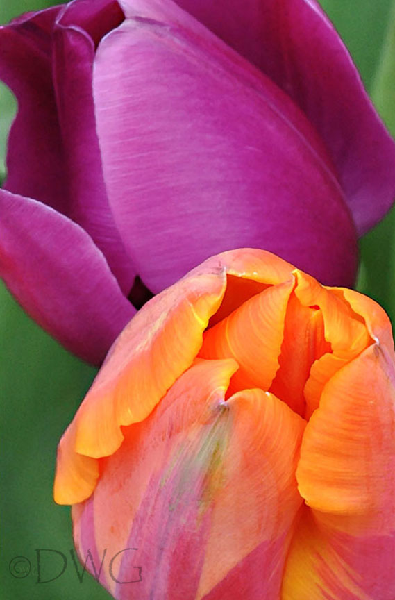 097-Tulip-Combo.jpg