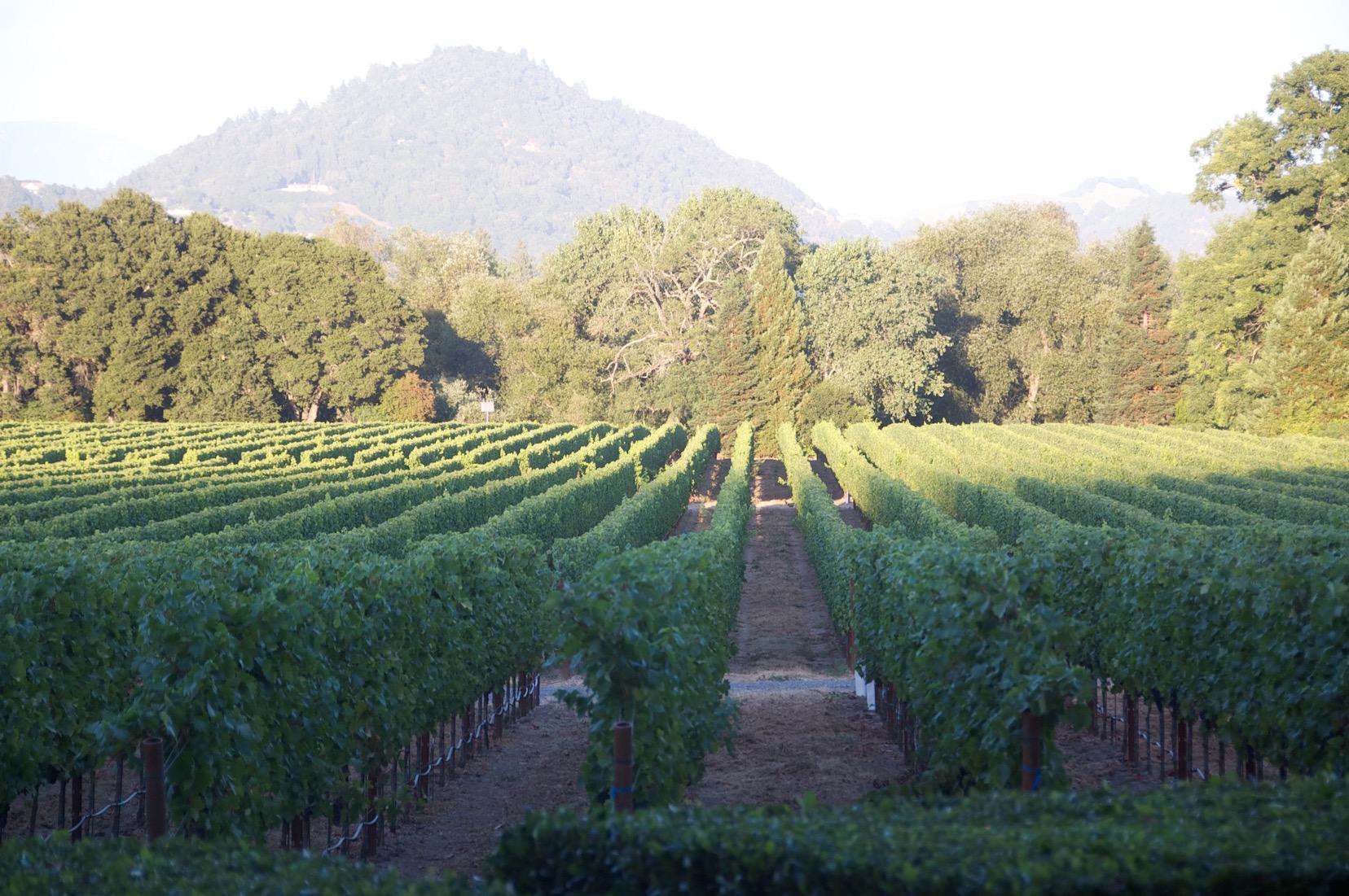 Sauvignon Blanc vineyard in the Dry Creek Valley
