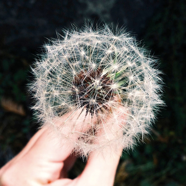 envirnomentally-friendly-dandelion-650px.jpg