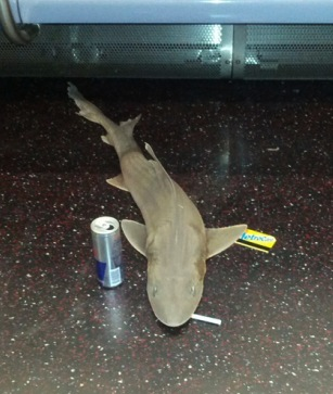 Subway Shark is just trying to get to work like the rest of us. (Photo Credit: Juan D. Cano via BBC)