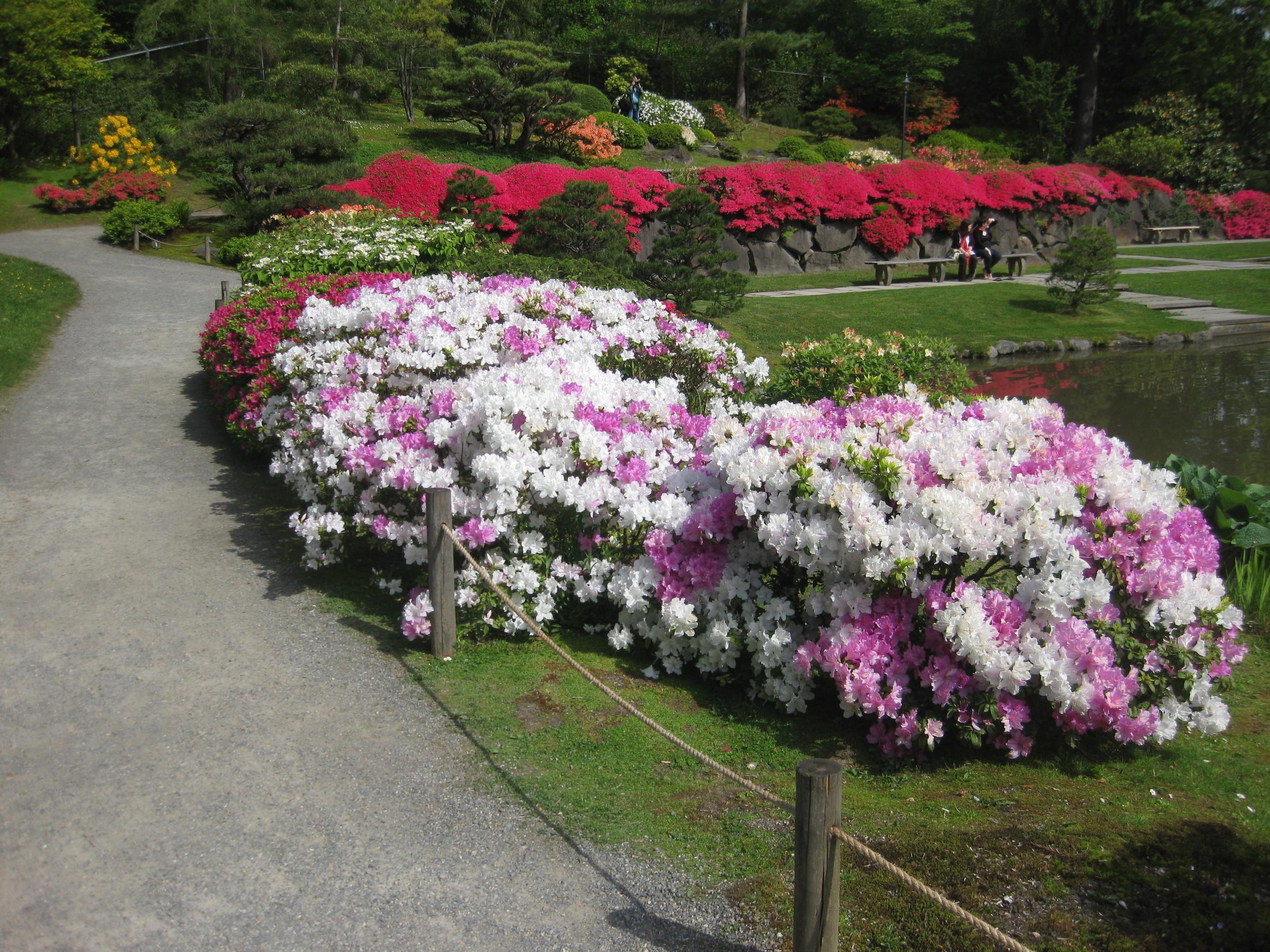 The striking rhododendron 'Quakeress'