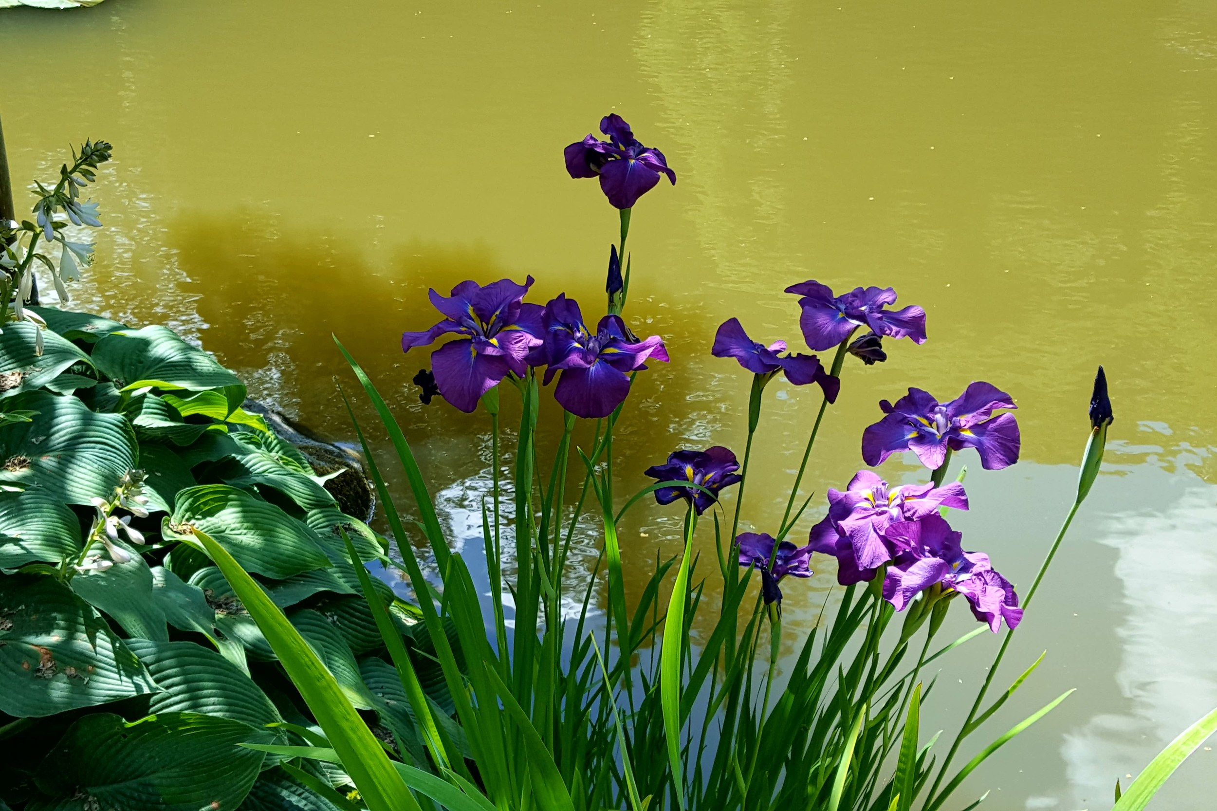 Iris ensata in Seattle Japanese Garden