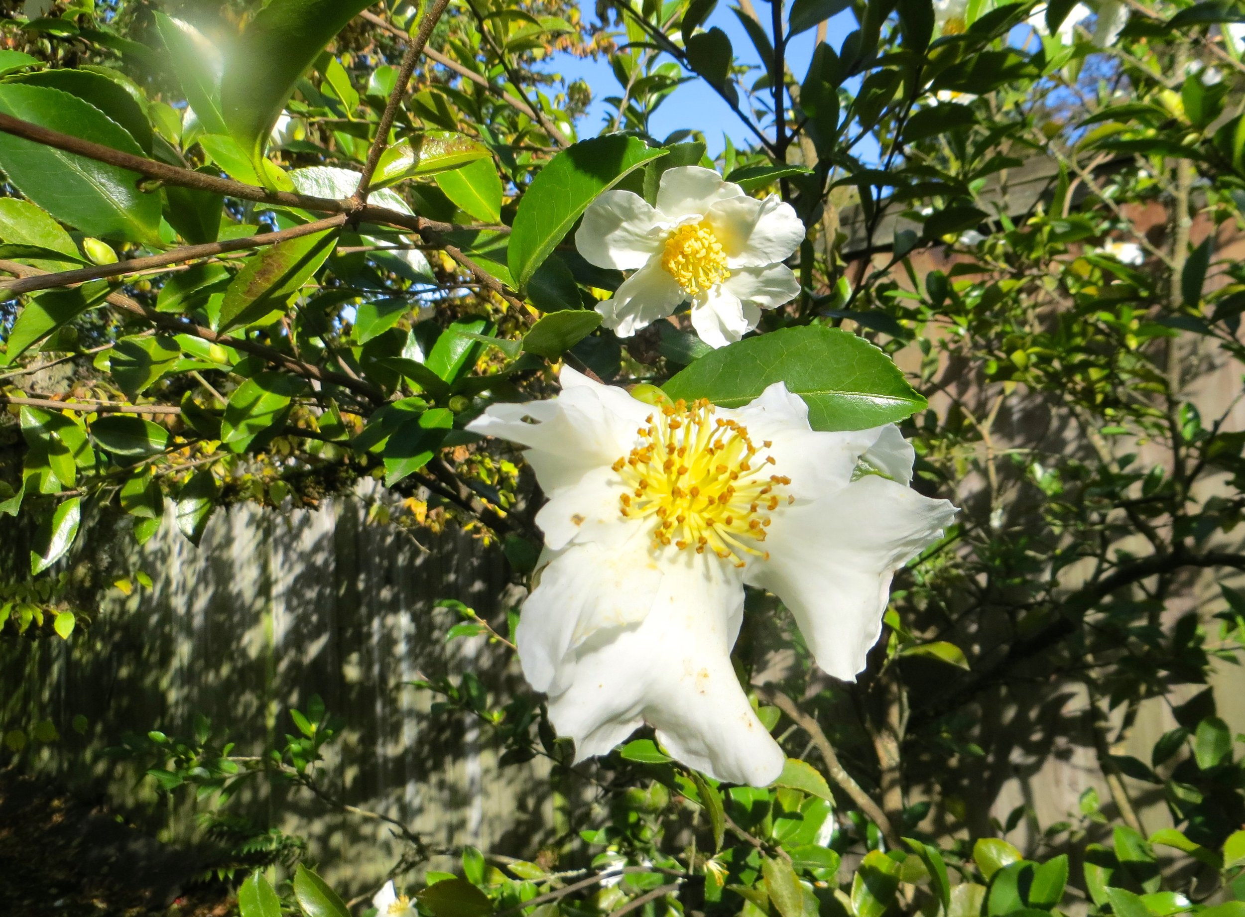 The blooms of sasanqua Camellias are an unexpected delight in the late-fall.Photo: Aleks Monk.