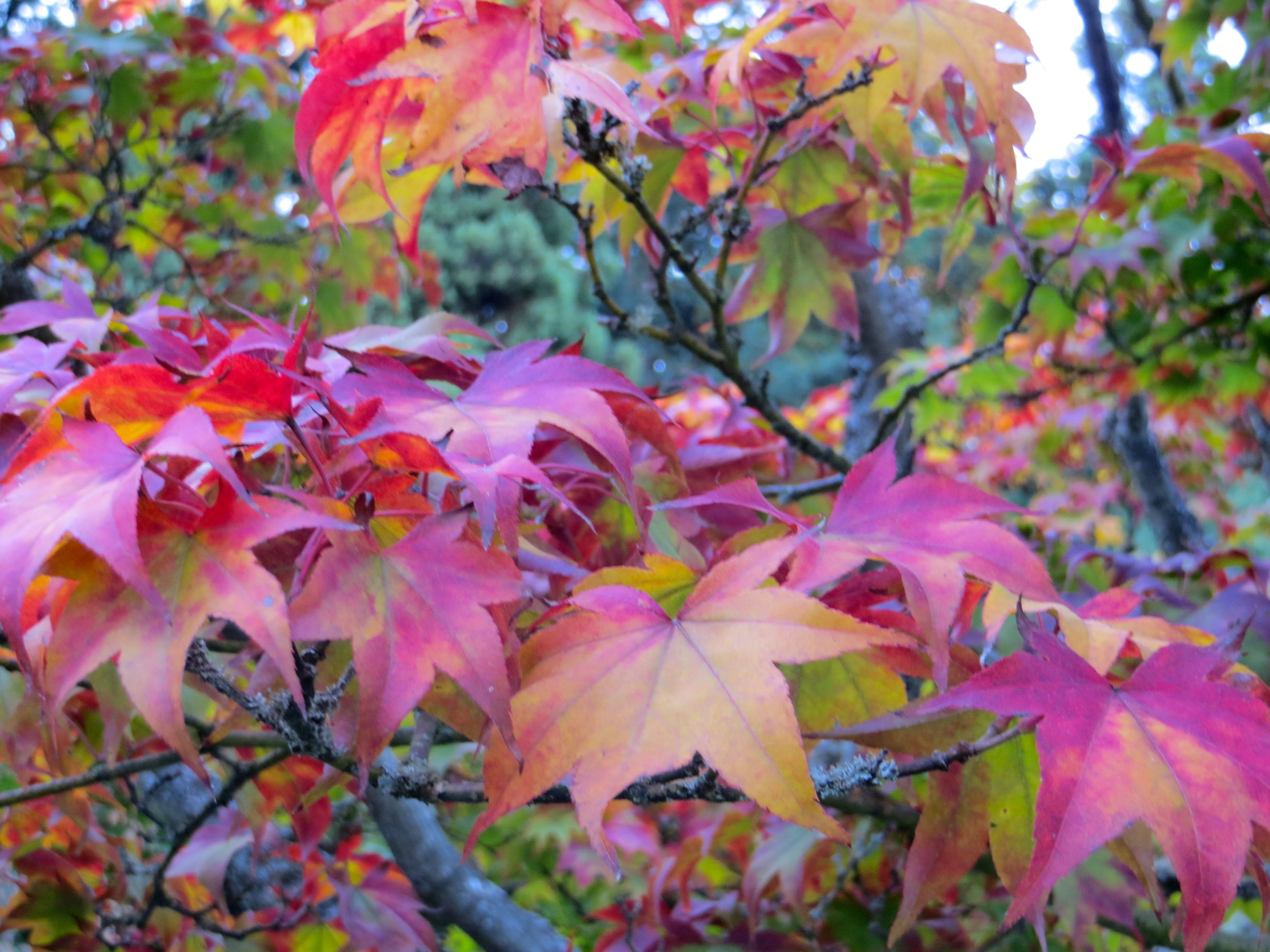 The many shades of autumn, in one leaf.  Acer palmatum 'Samidare', Photo: Aleks Monk.