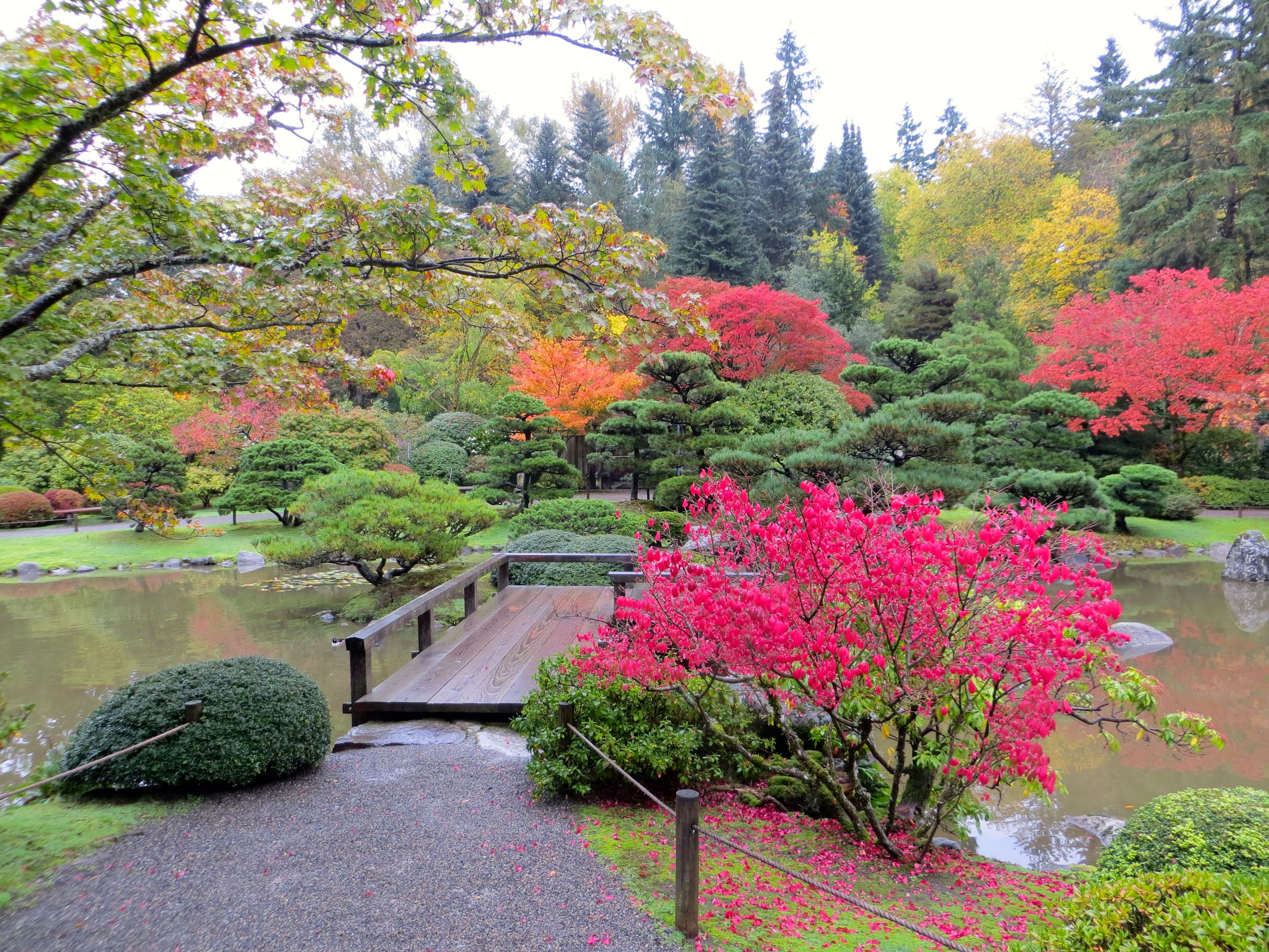 Euonymus alatus, also known as burning bush, adds striking color to the Japanese Garden.