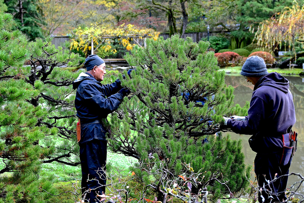 Shaping pines is one of the most important tasks undertaken by expert gardeners each November. Photo: Aurora Santiago.