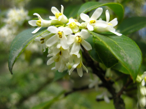 Spring-blooming Osmanthus – Area D (Photos by Aleks Monk, 4/1/13)