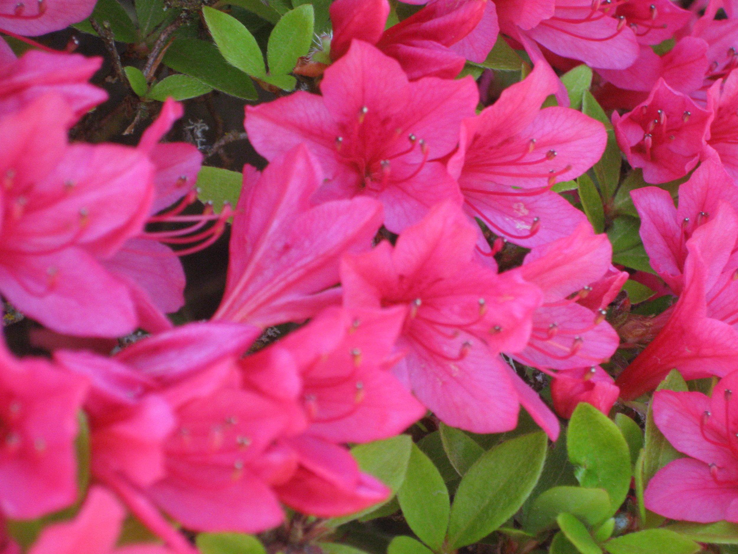 The Arnold Azalea's flowers (photo by Aleks Monk, May 6, 2012)