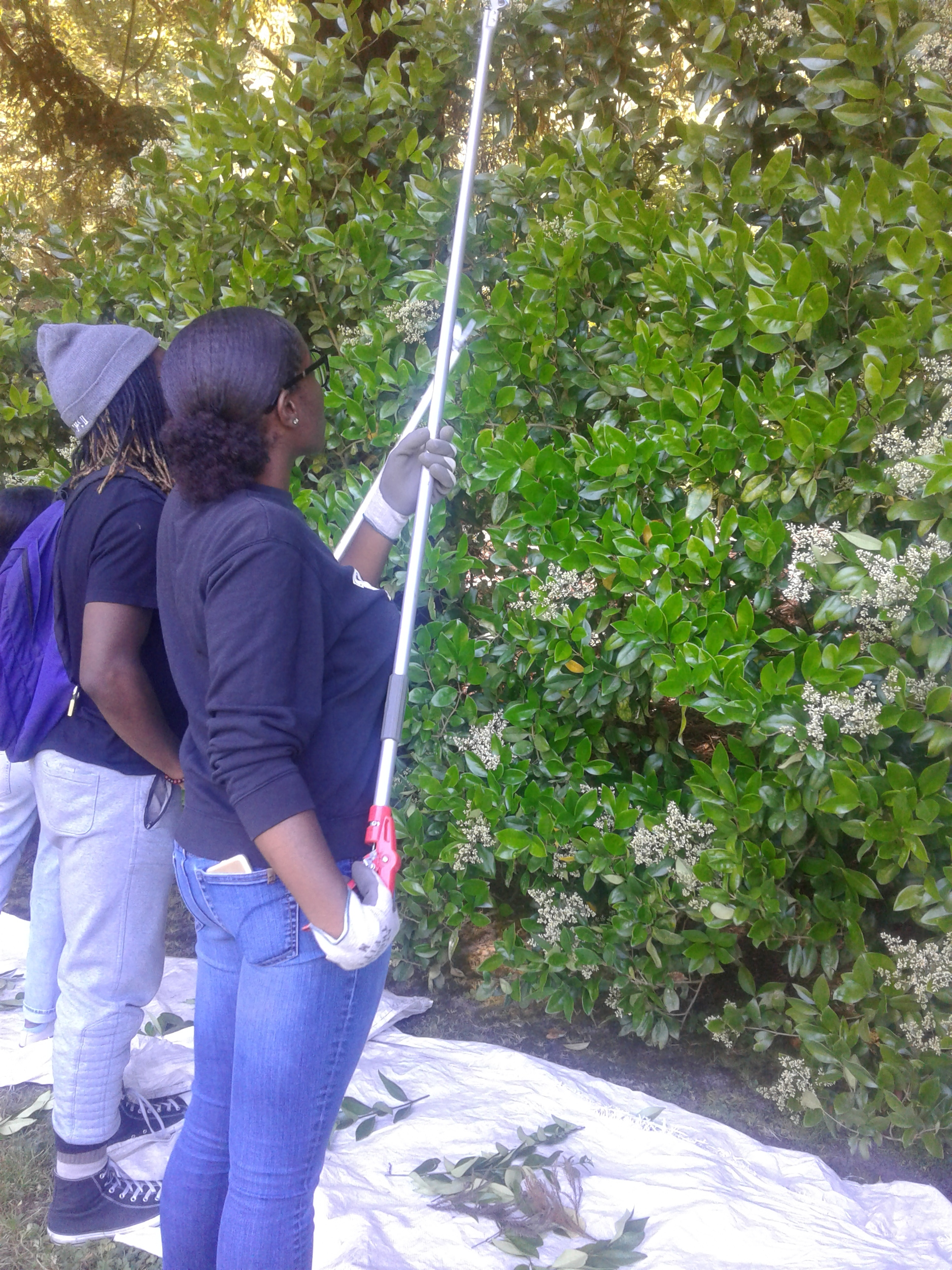 Volunteers pruning hedges