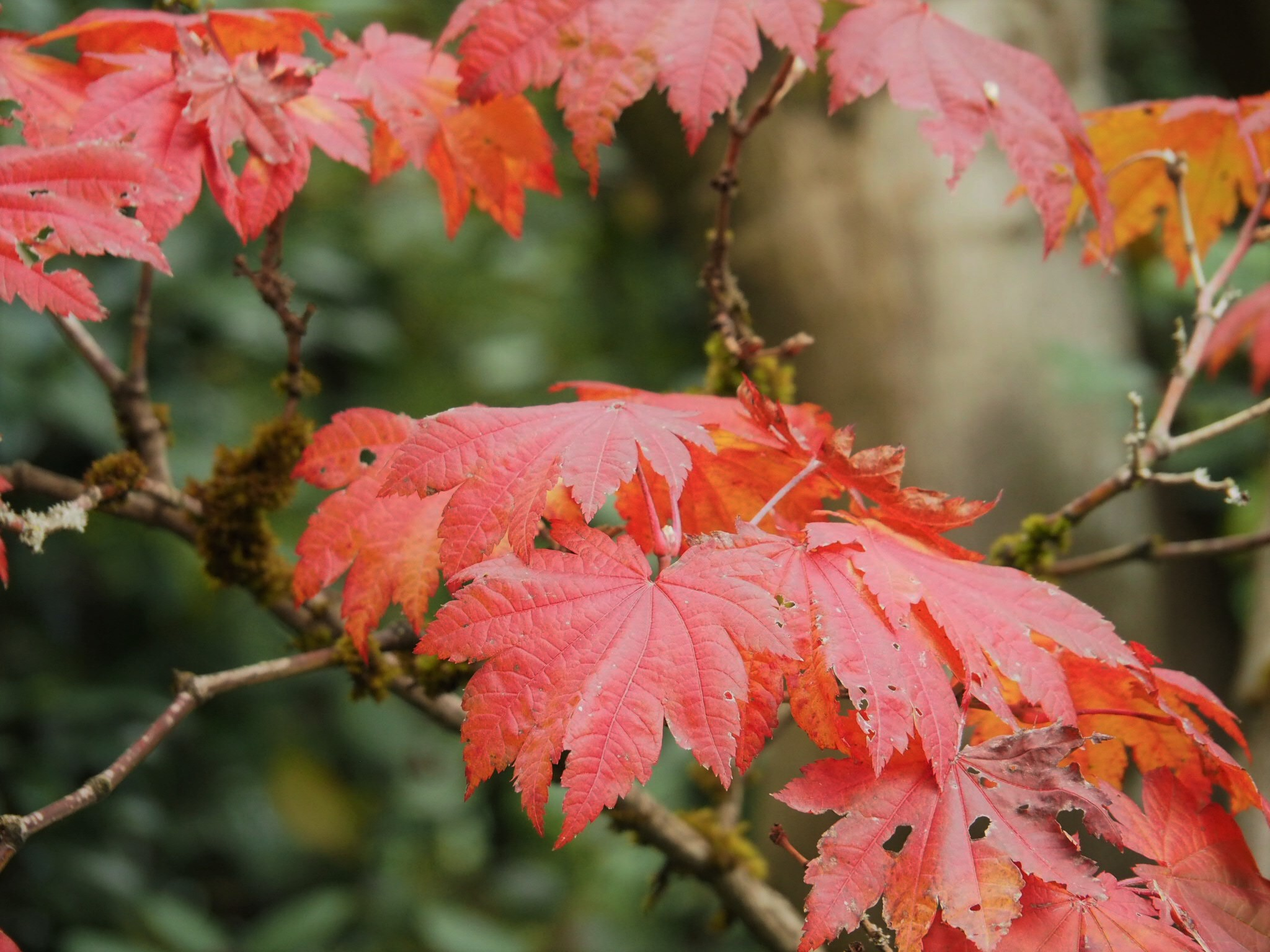 Full moon maple ( Acer japonicum )