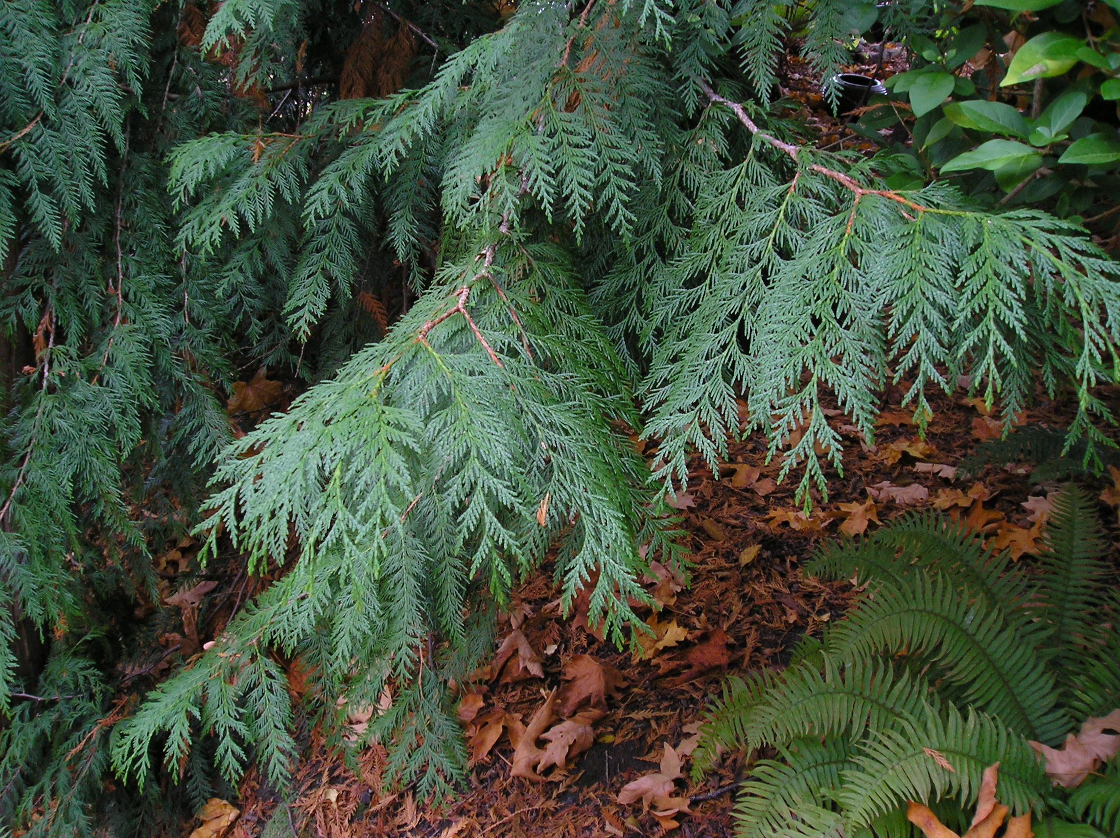 Foliage of Western red cedar (Corinne Kennedy)