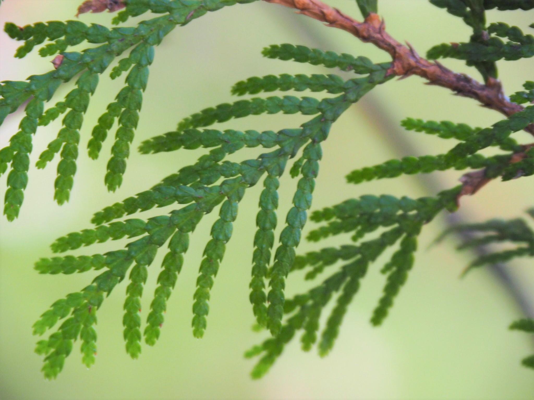 Scale-like foliage of Western red cedar (Chie Iida)