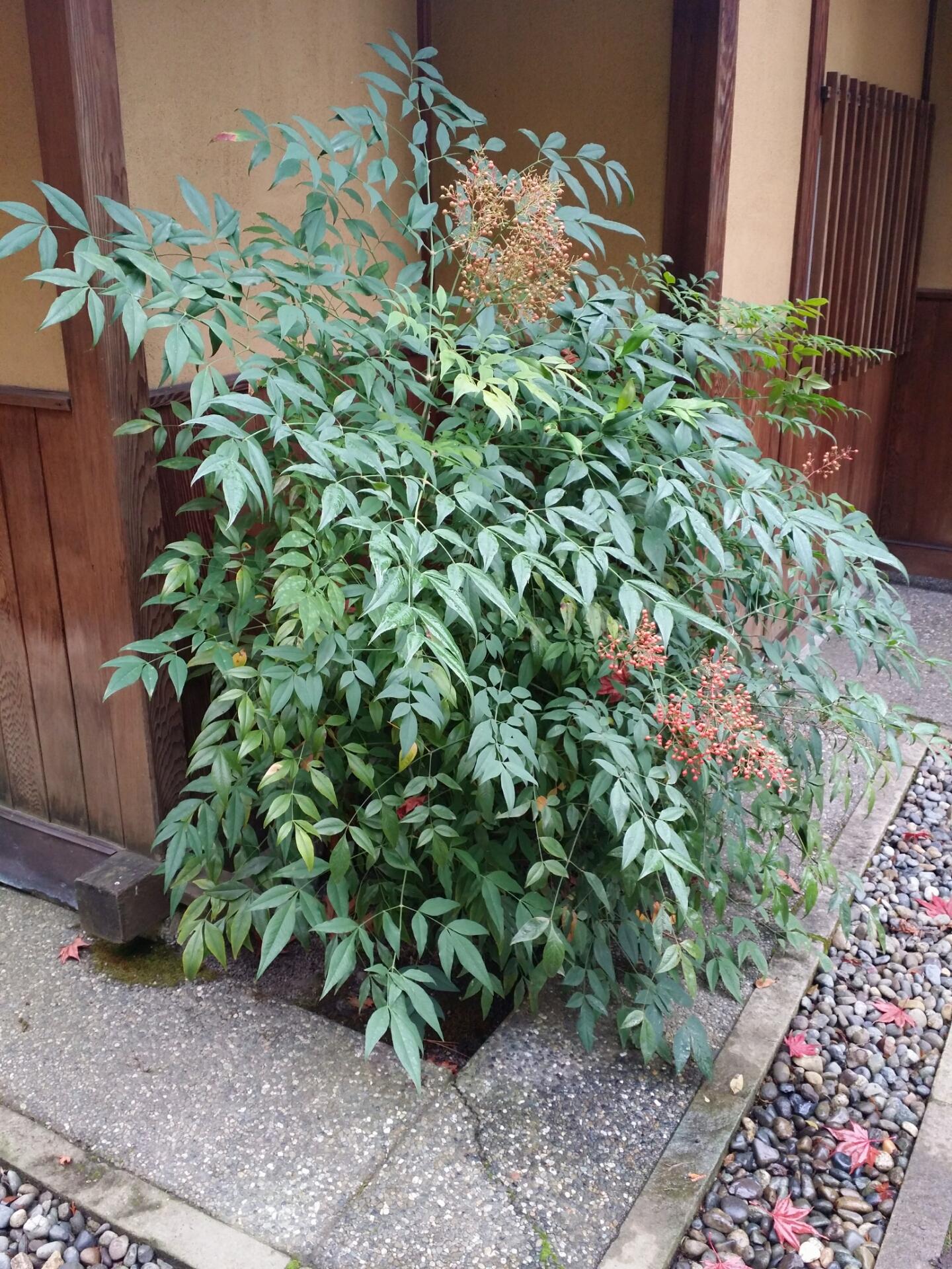 Nandina domestica , known as heavenly bamboo