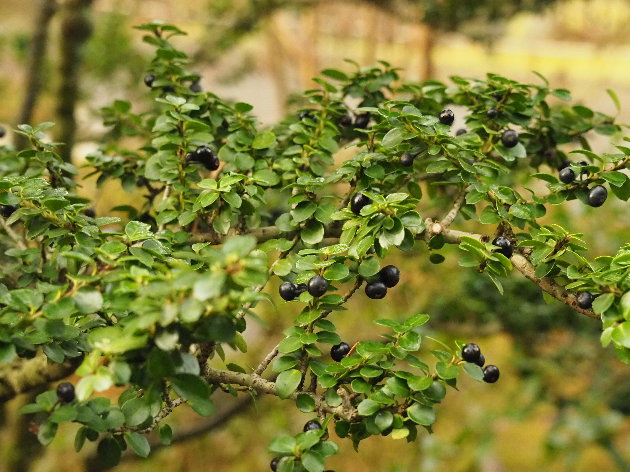 """Foliage and berries of  Ilex crenata  'Mariesii"""" (photo by Chie Iida)"""