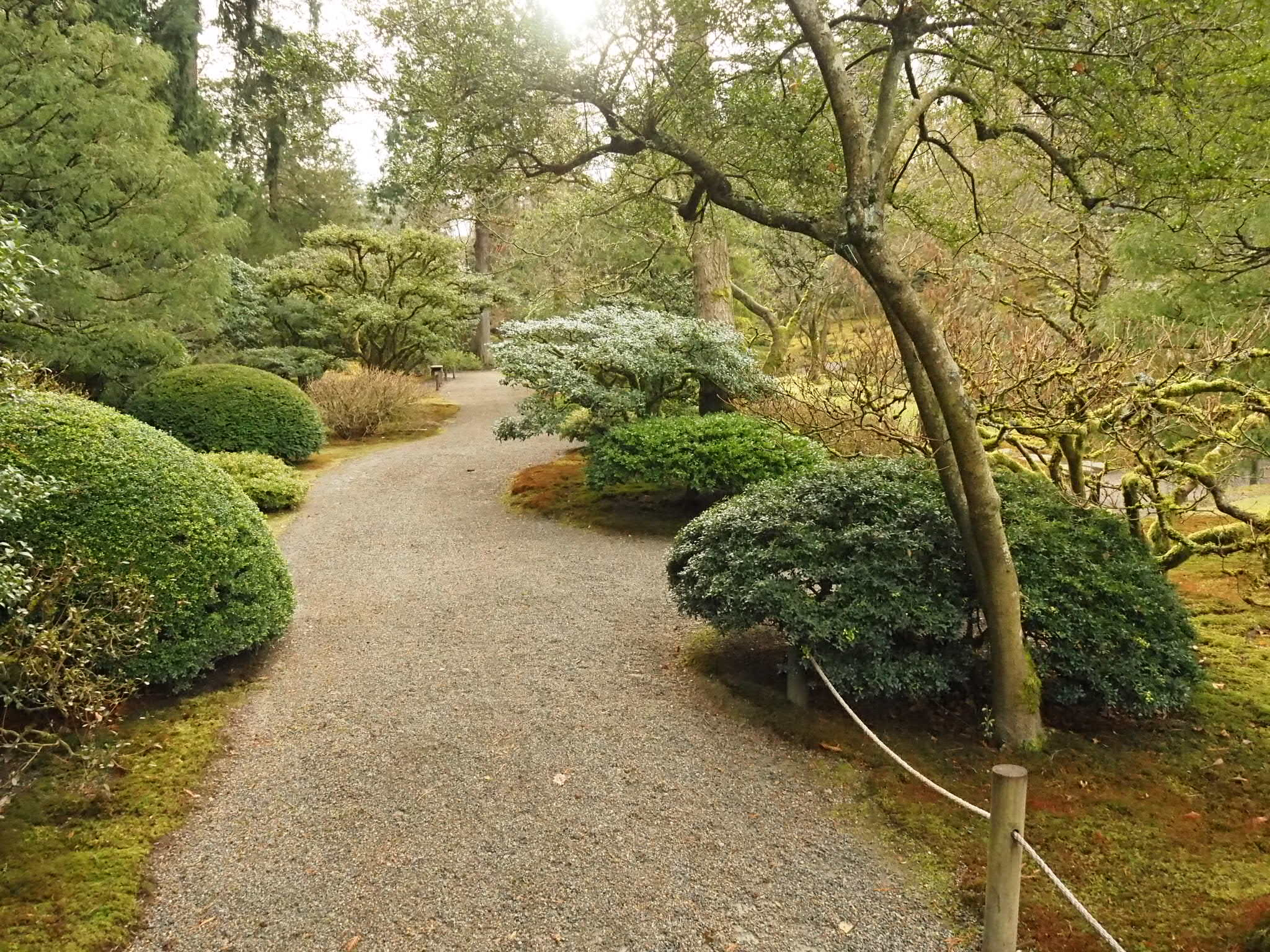 Japanese holly tamamono along the Eastern path of the garden
