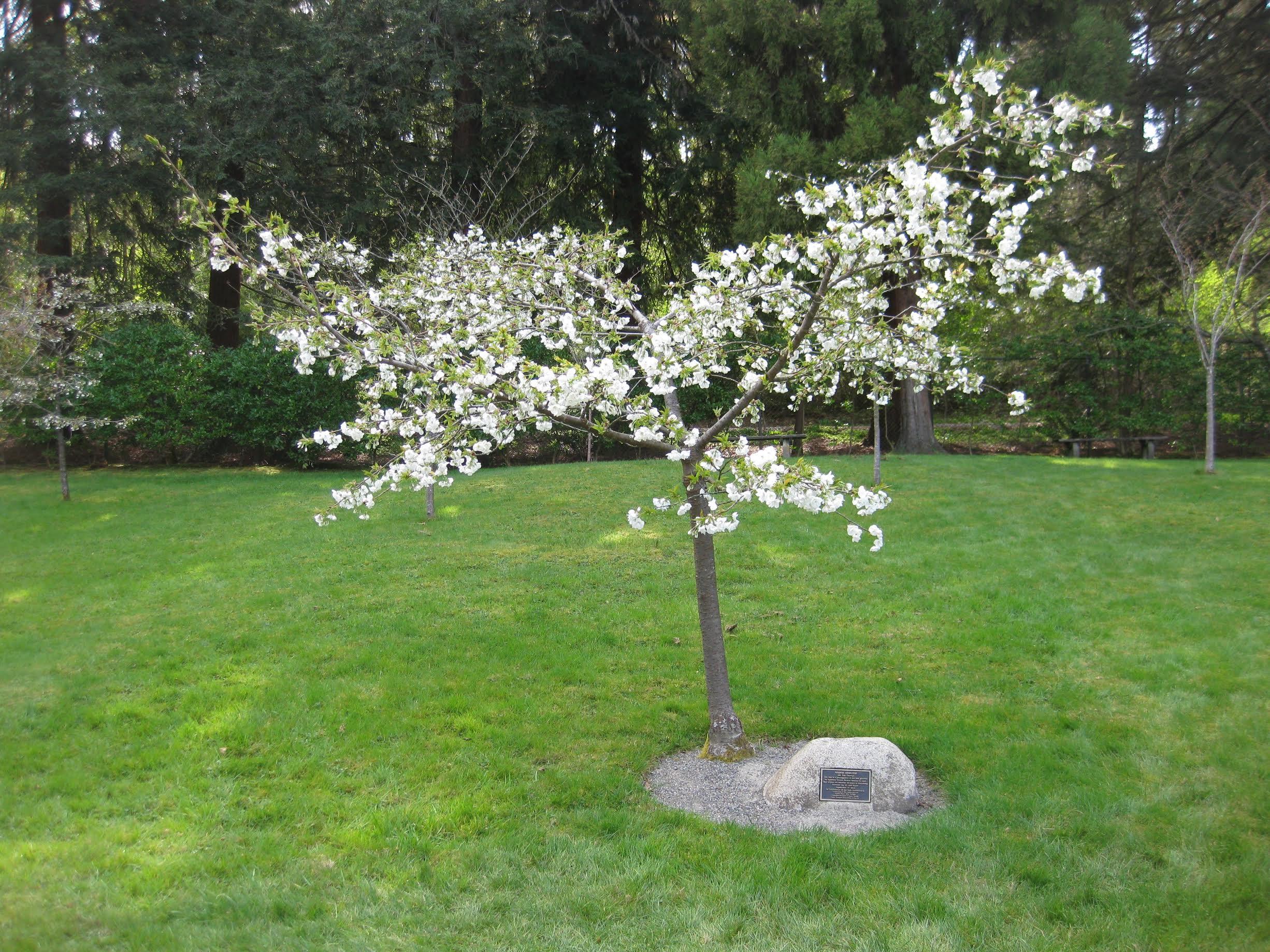 'Shirotae' flowering cherry (photo by Aleks Monk, 2013)