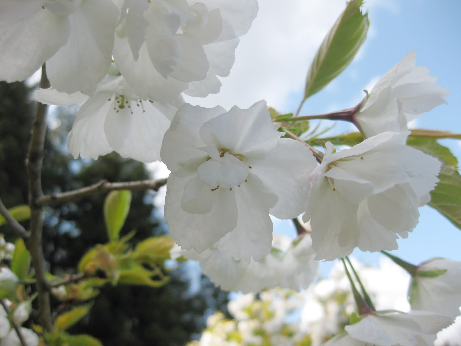 'Shirotae' flowering cherry, flowers (photo by Aleks Monk, 2011)