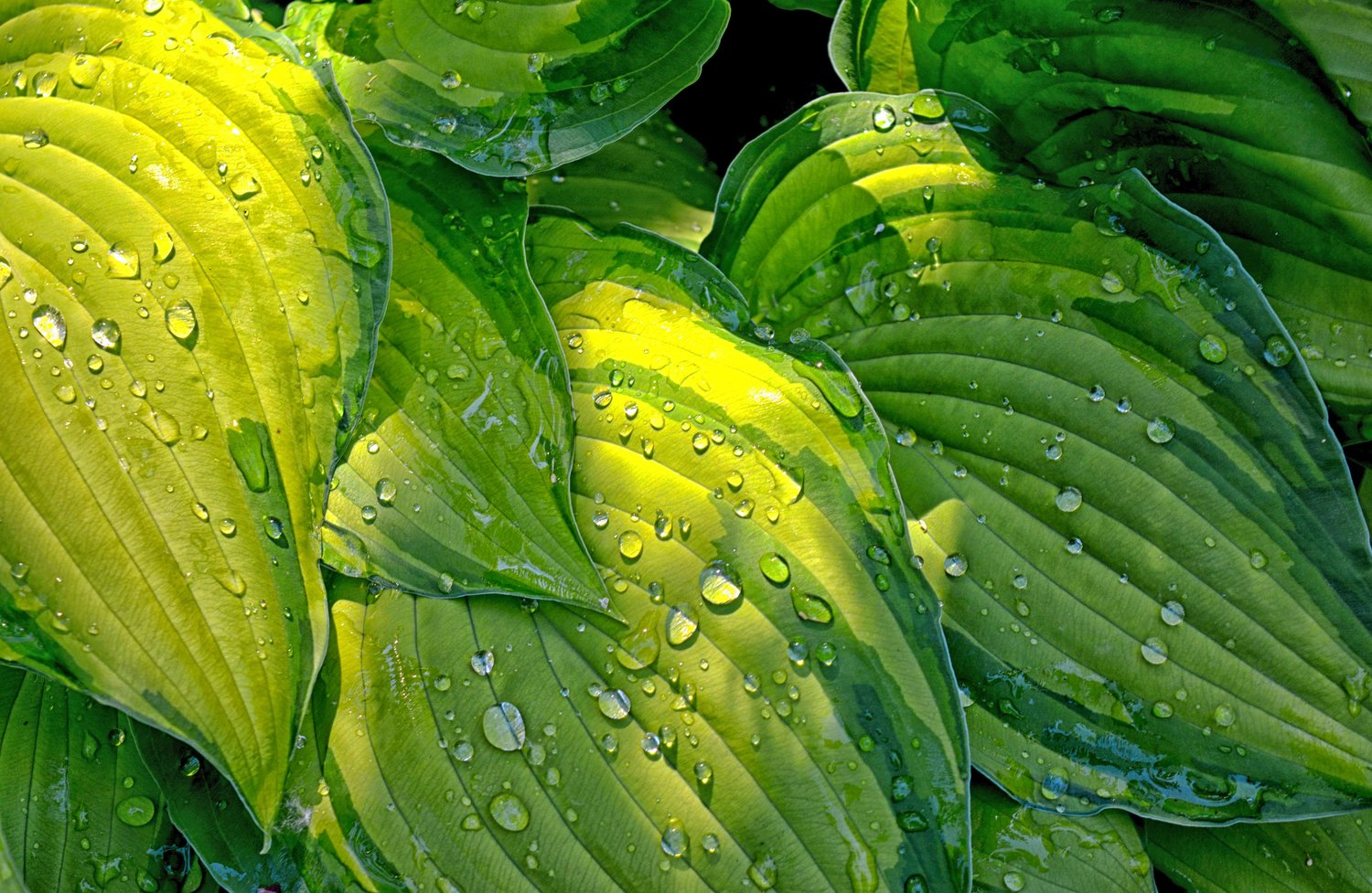 Variegated hosta foliage with raindrops (Riley Sawyered)
