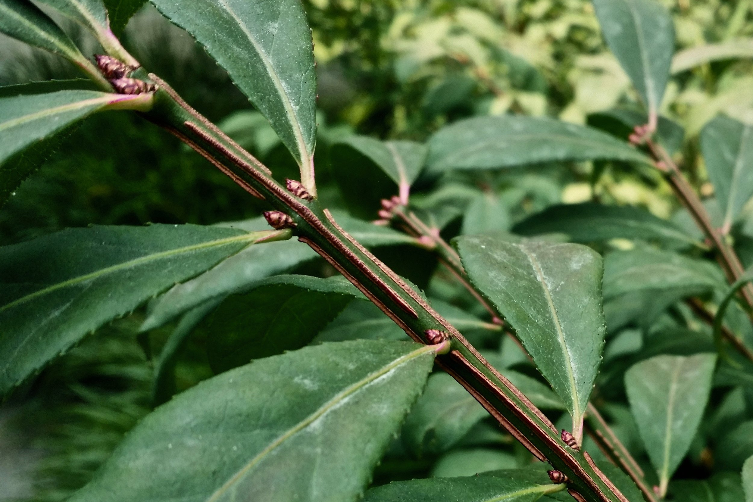 Closeup of foliage and winged stem (Corinne Kennedy, 8/19/18)