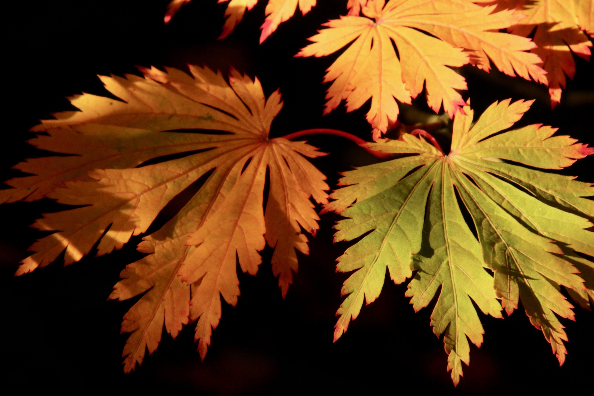 Autumn leaves of Dancing Peacock Maple (Acer japonicum 'Aconitifolium'). Photo by Mary Ann Cahill.