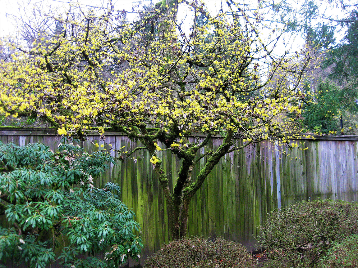 Cornelian cherry tree in Area L, along the garden's eastern fence. (photo: Aleks Monk, 3/5/13)