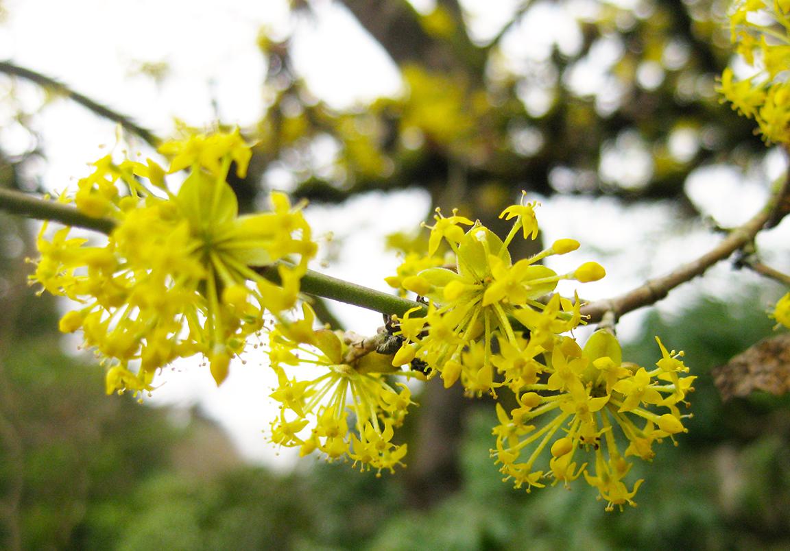 Mid to late winter flowers of the cornelian cherry dogwood. (photo: Aleks Monk, 3/5/13)
