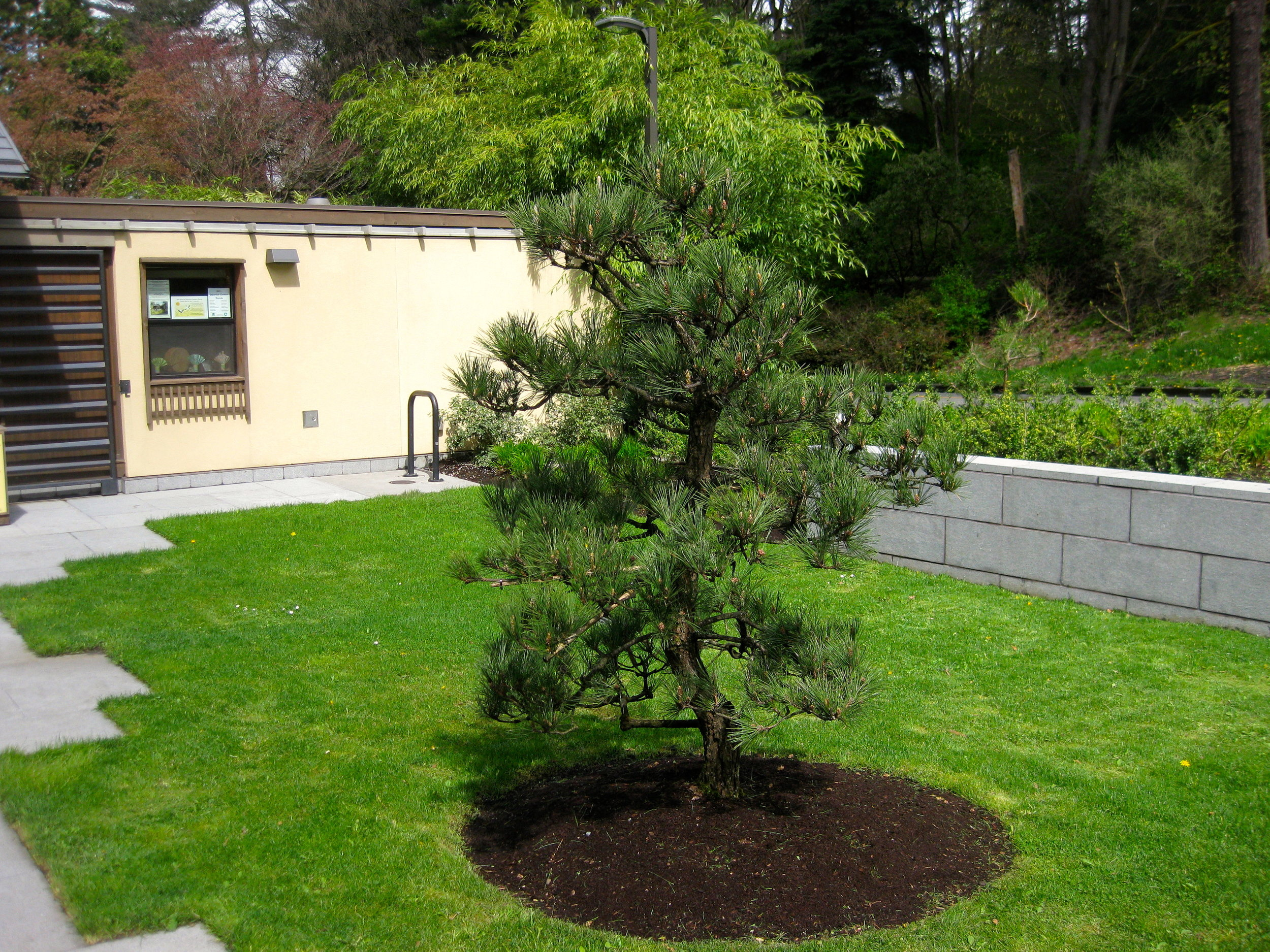Japanese black pine in the Seattle Japanese Garden's entry courtyard. (photo: Aleks Monk)