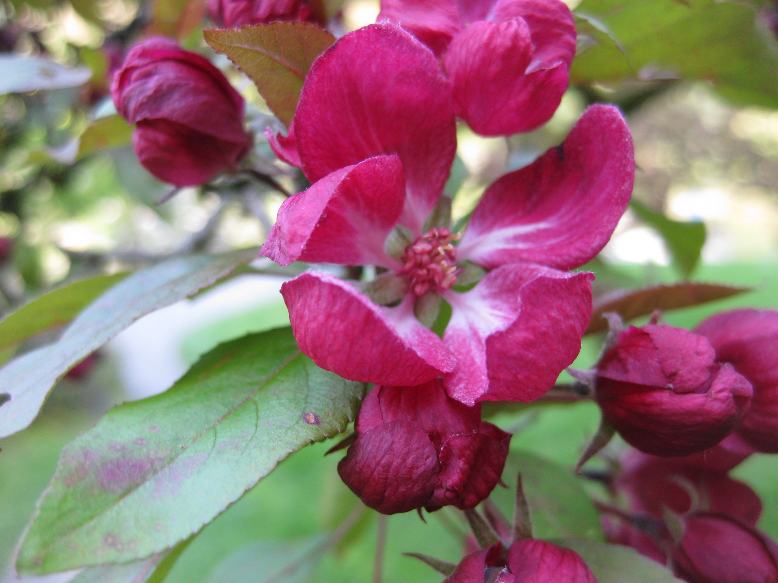Flowers of the 'Lemoinei' crabapple in the orchard area of the Seattle Japanese Garden (photo: Aleks Monk)