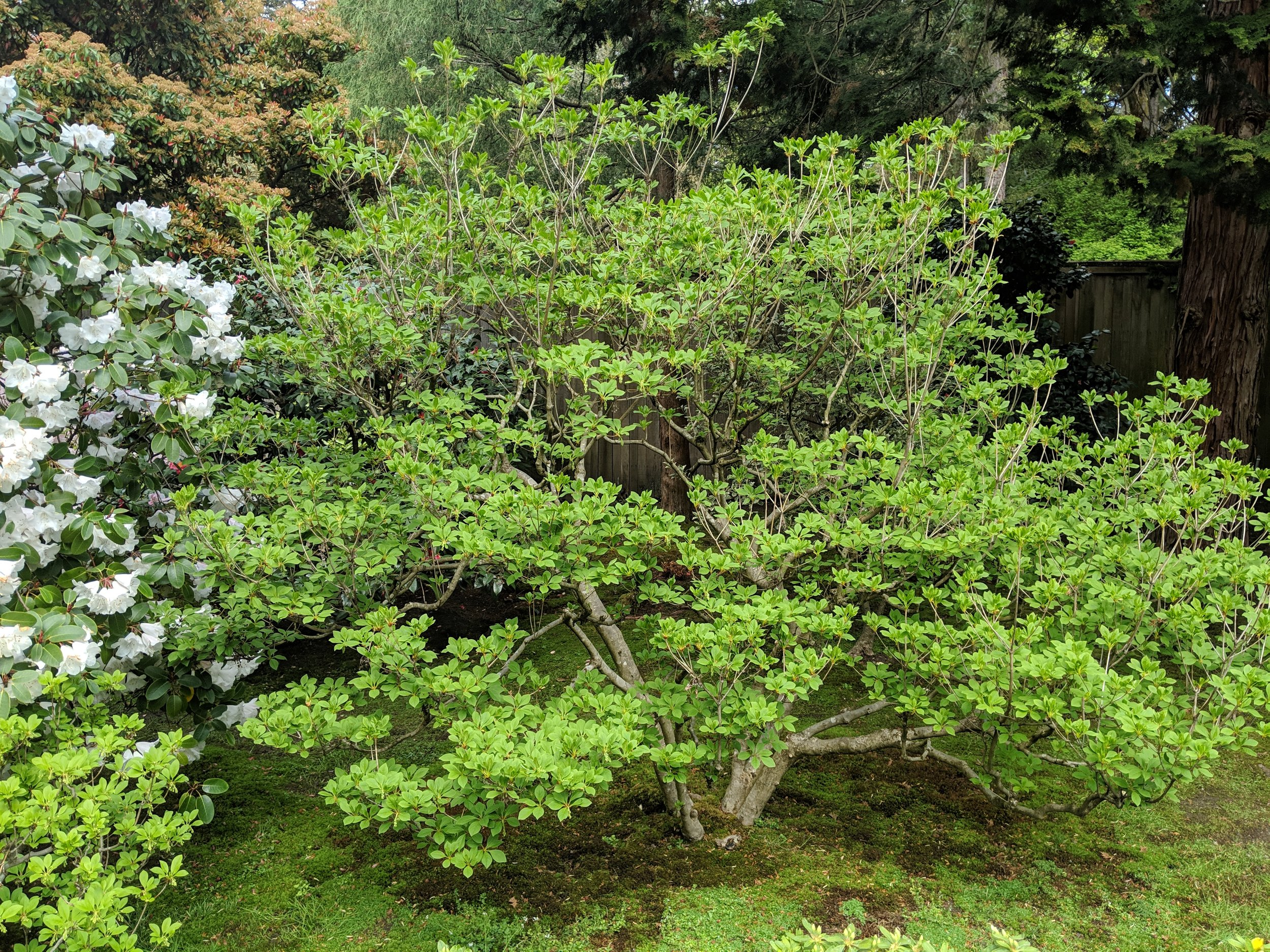 Redvein enkianthus in our garden, before the flowers open. (photo: Corinne Kennedy)