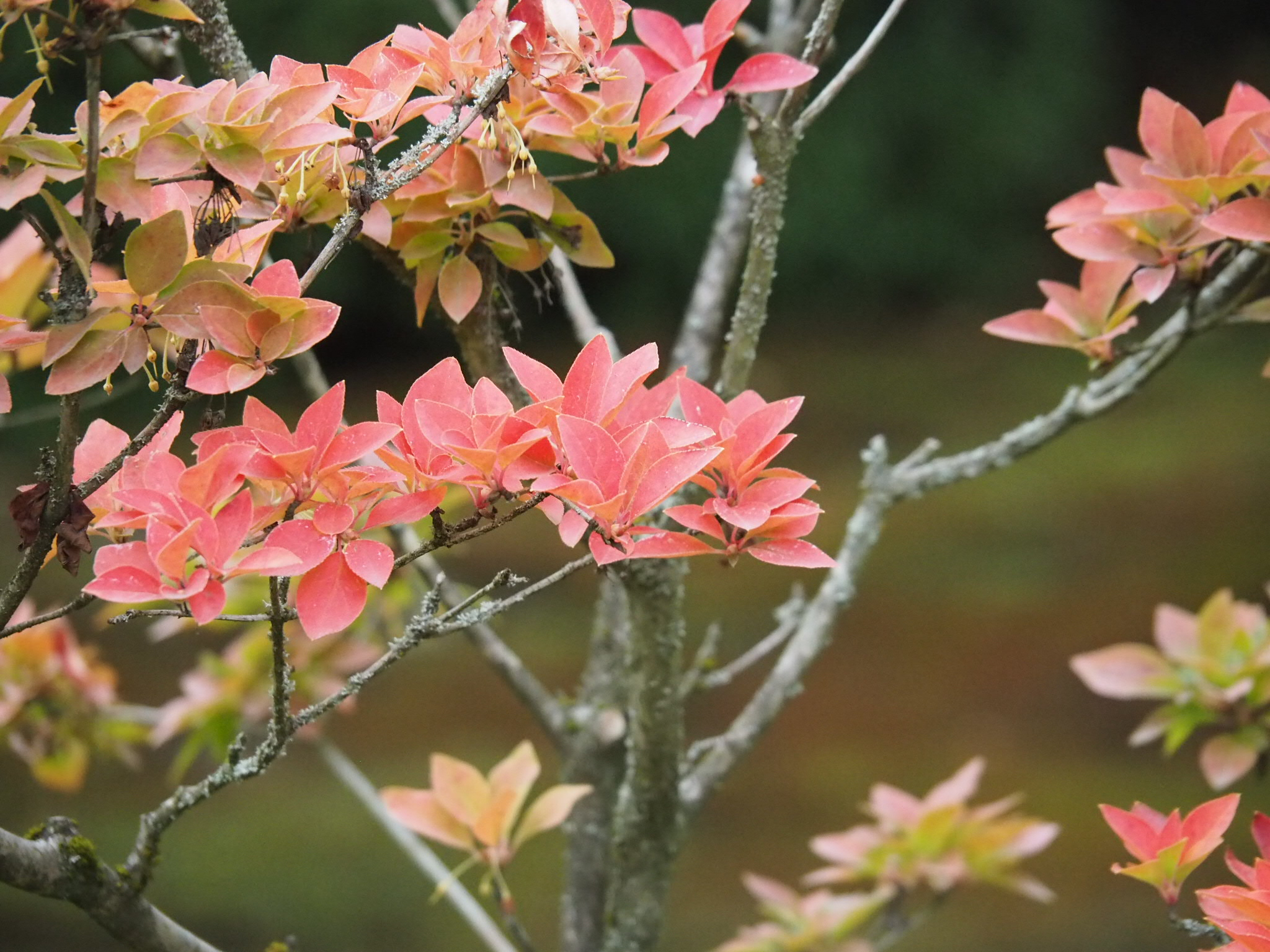 Fall color of  Enkianthus  (Photo: Chie Iida)
