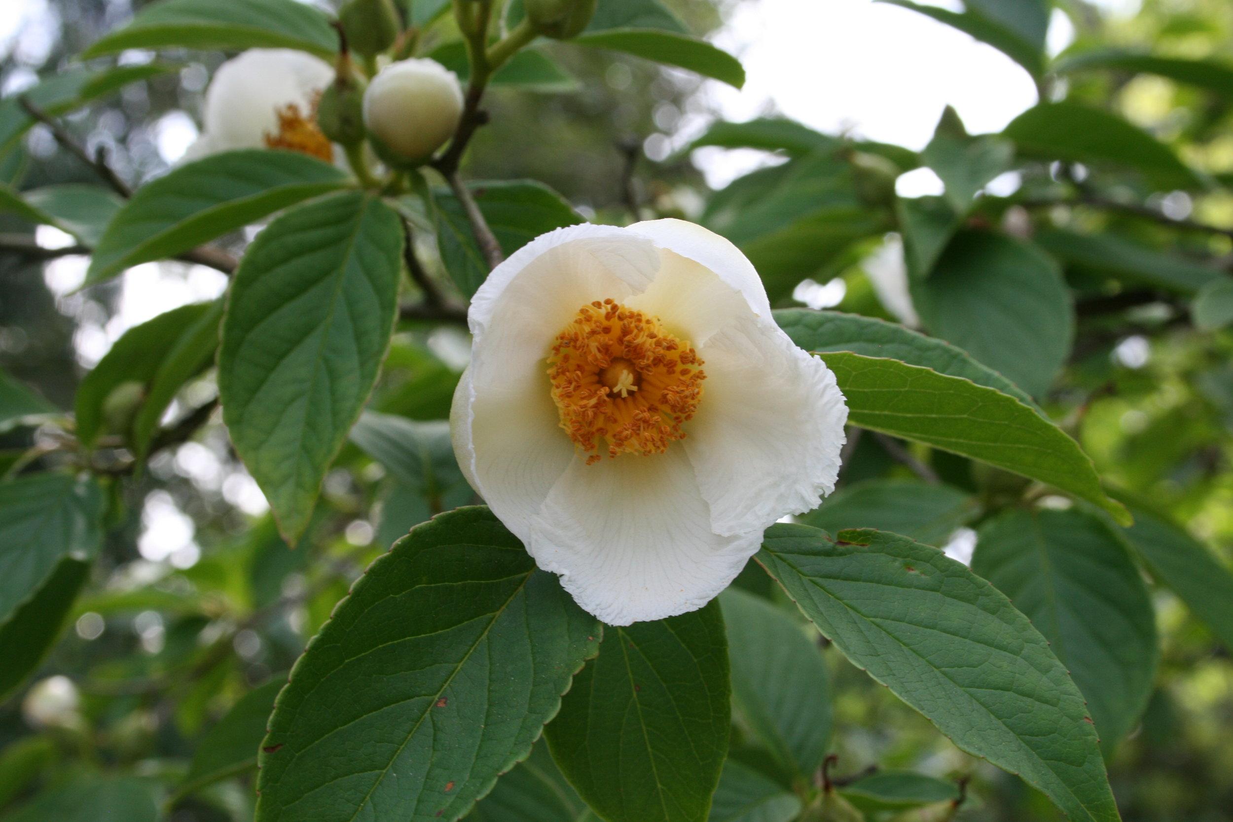 Japanese stewartia flower (photo: Uleli; Creative Commons-Share Alike 3.0 Unported License)