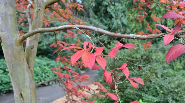 Fall foliage on the new  Stewartia pseudocamellia  at the north end of the Arboretum's Azalea Way (photo: Niall Dunne, in the Winter 2018 issue of the  WPA Arboretum Bulletin )