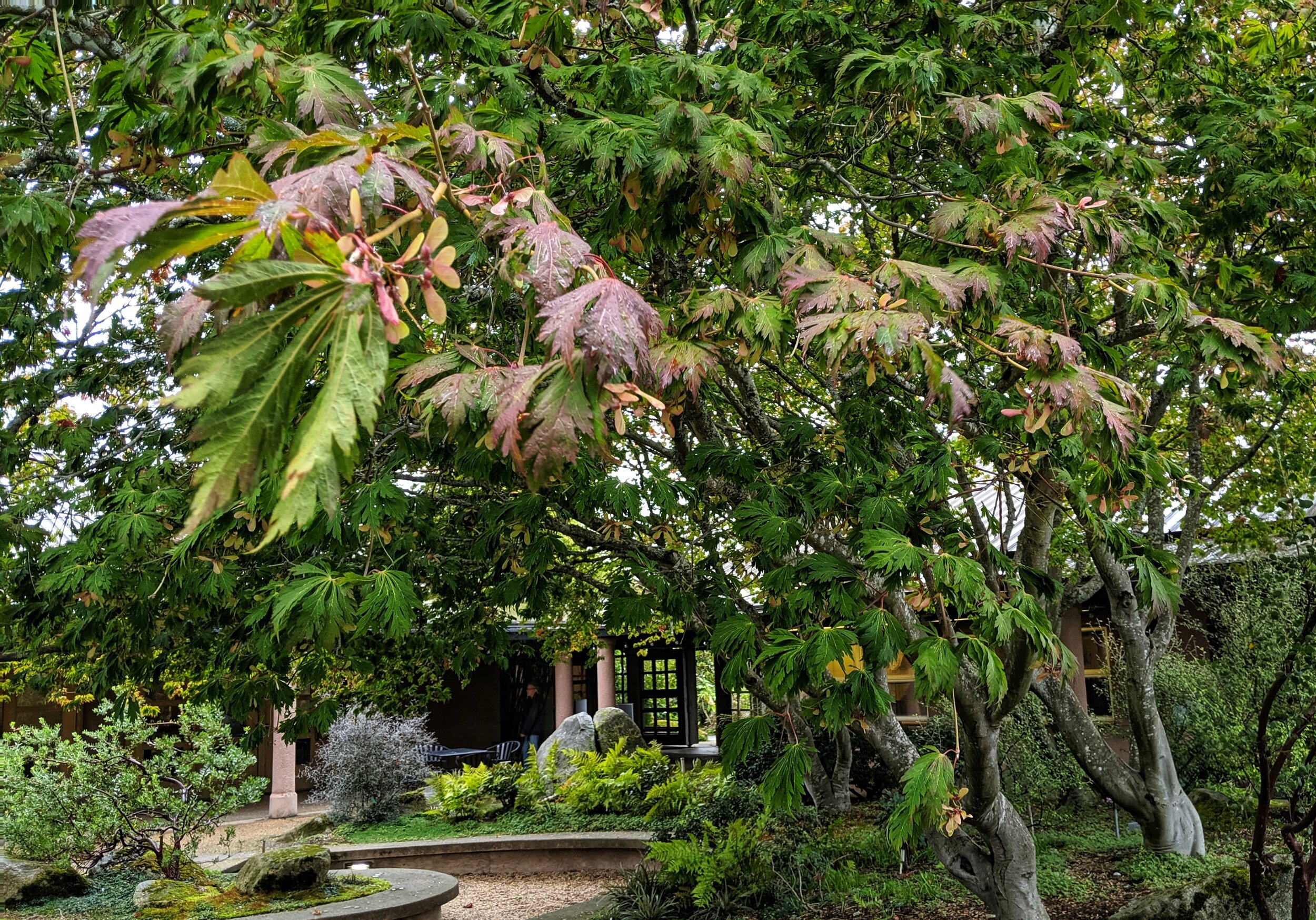 In late September, fern-leaf full moon maple is beginning to show fall color in the McVay Courtyard at the Center for Urban Horticulture. (photo: Corinne Kennedy)