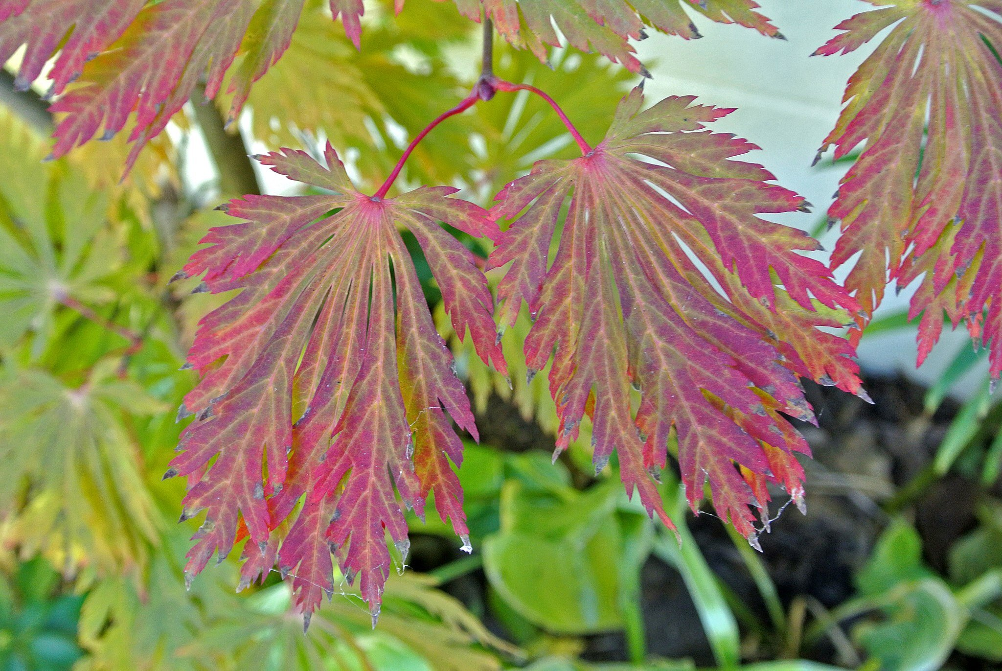 """The showy fall colors of fern-leaf full moon maple – """"dancing peacock maple"""" in Japanese. (photo: James Steakley, Creative Commons Attribution-Share Alike 3.0 Unported license)"""