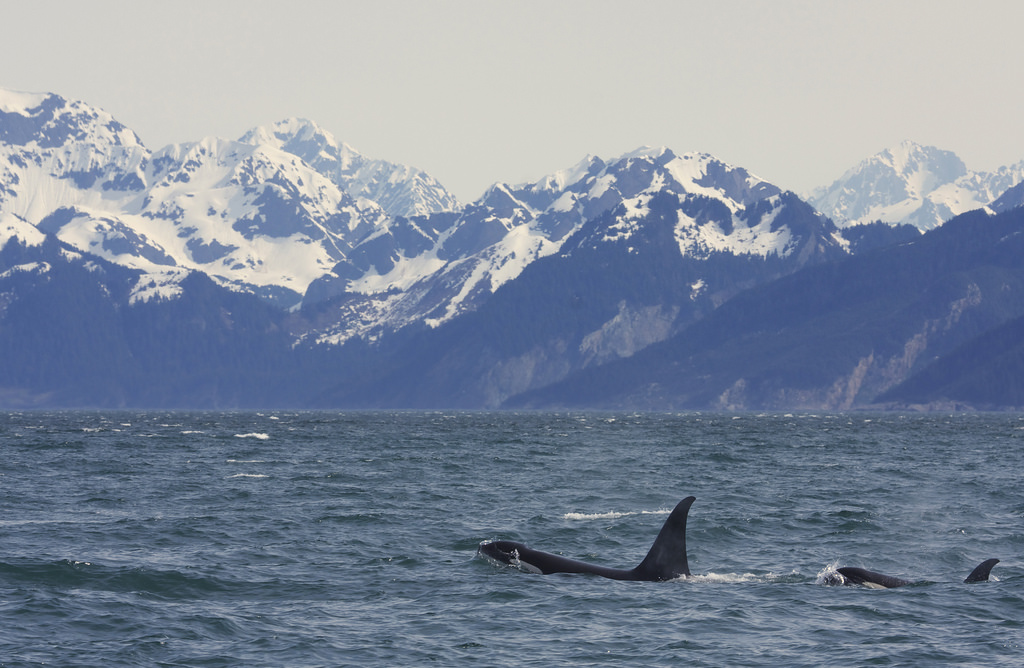 Not the actual view of whales from the ferry.... (Image from Google)