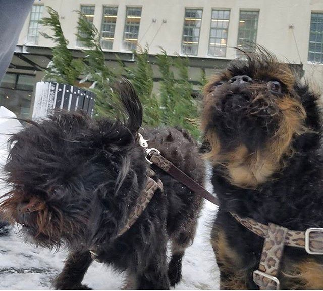It's a bad day for hairdos! Ursula and Valencia ❤❤@brussels11211 📷 Bob 🐶🚶@bobwalksdogs 🐾🐾🐾🐾 #dogs #brusselsgriffon #cute #affenpinscher #brooklyn #nyc
