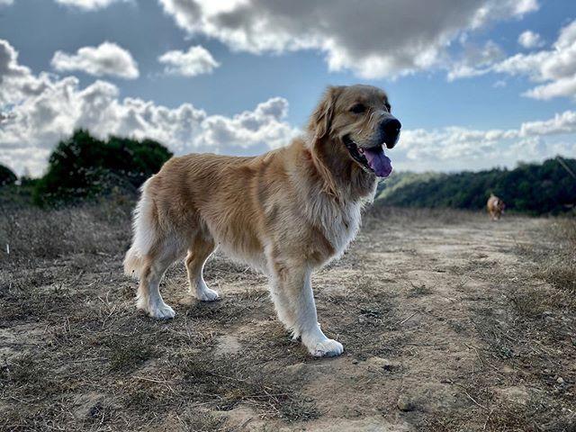Every side is Akas good side 🤩 #dirtydog #dirtydoghikes #ebrpd #oaklanddogs #oaklanddogwalker #dogwalking #dogwalker #offleash #goodboy #goldenretriever