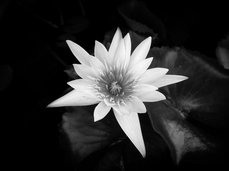 water-lily-tahnia-roberts.jpg