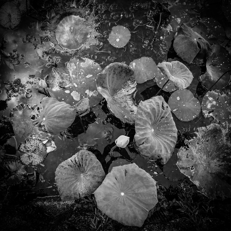 lily-pad-kuala-lumpur-park.jpg