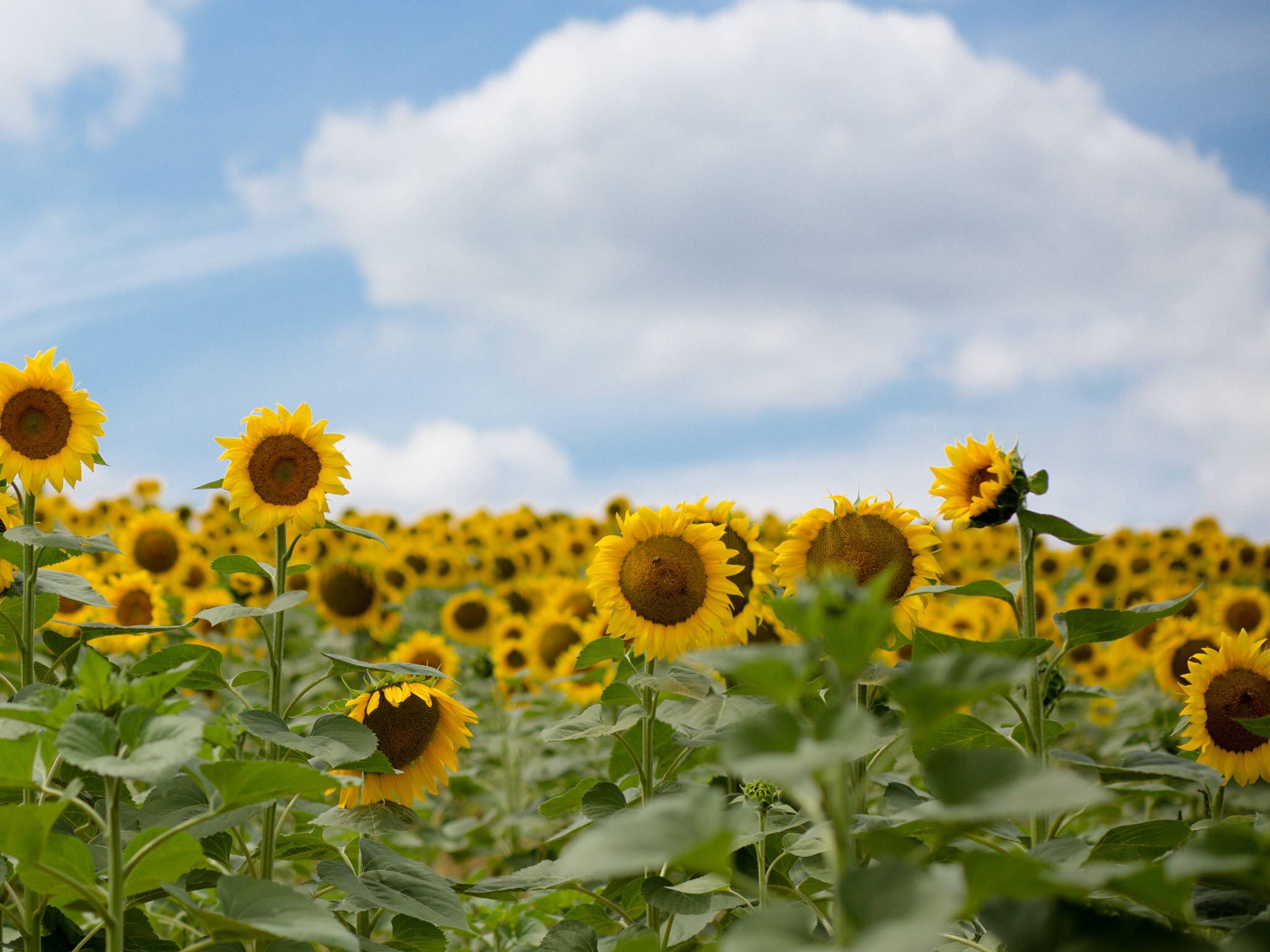 Bordeaux wedding photographer sunflower field by Olivia Moon Photography