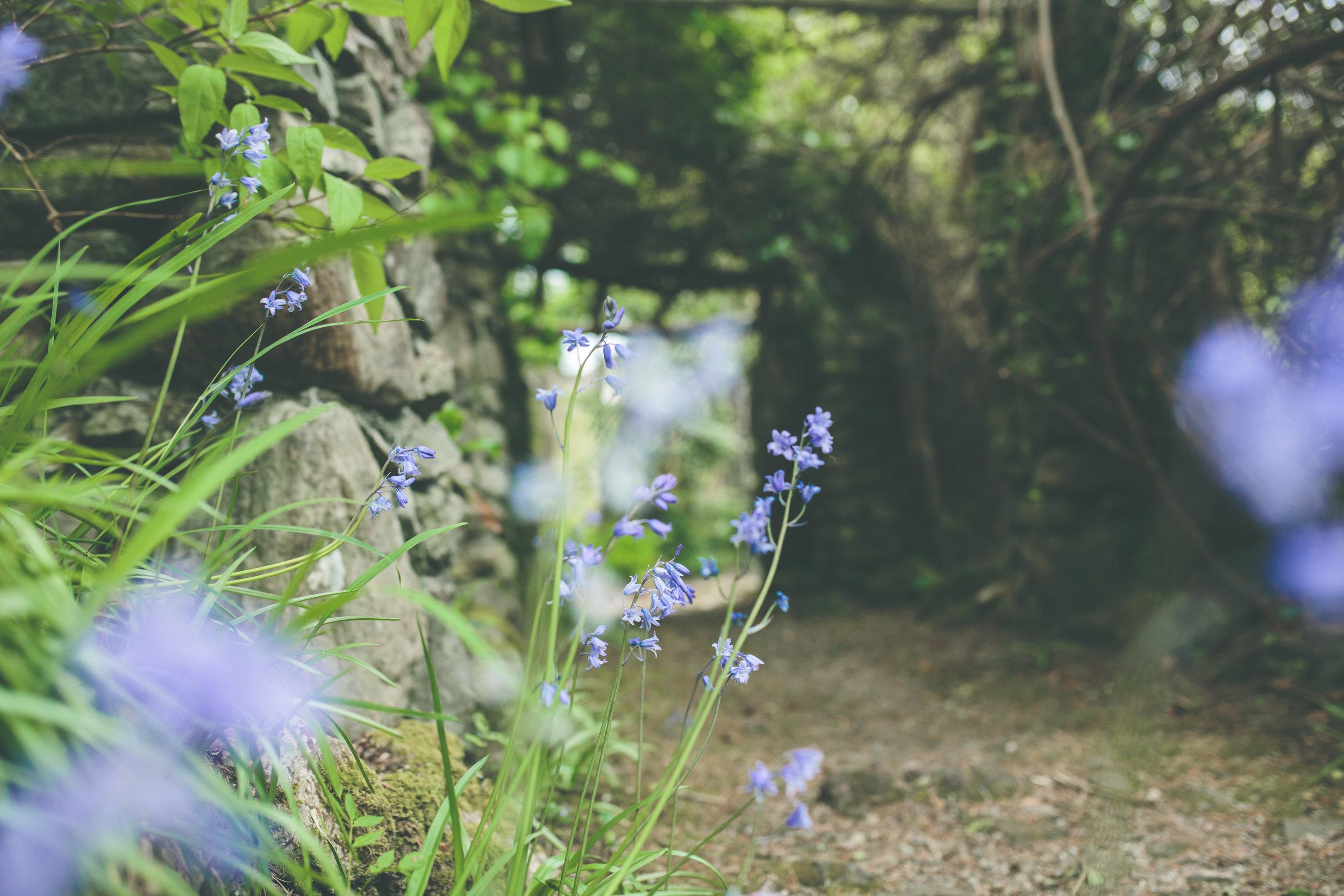 Bluebells by Shropshire wedding photographer in Ireland