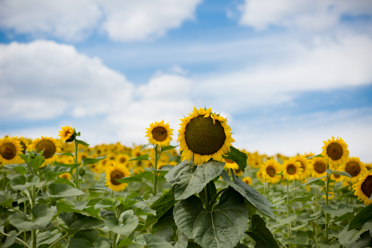 Sunflowers blooming near Bordeaux, France.