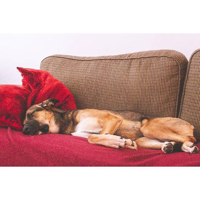 Sleepy head 💕🐶 . . . .  #instagramdogs #petstagram #dogs_of_instagram #puppylove #weeklyfluff #ilovemydog #doglovers #dogoftheday #dogsofig #gsd #germanshepherd #HypeBeast #lensculture #torontophotographer #gtaphotographer #dogmom #storytelling #durhamregionphotographer #makemoments #love #torontolife #torontoigers #wethenorth #art #igerstoronto #torontolifestyle  #canoneos #canonrebel #canonphotographer #naptime