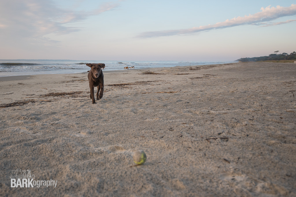 Luckily Don thought to bring a tennis ball to the beach. Moose is a bit obsessive about his toys so the tennis ball was a great distraction for him on the beach. We were able to let him off leash and he behaved fairly well. The next series of photos are of him running after the ball.