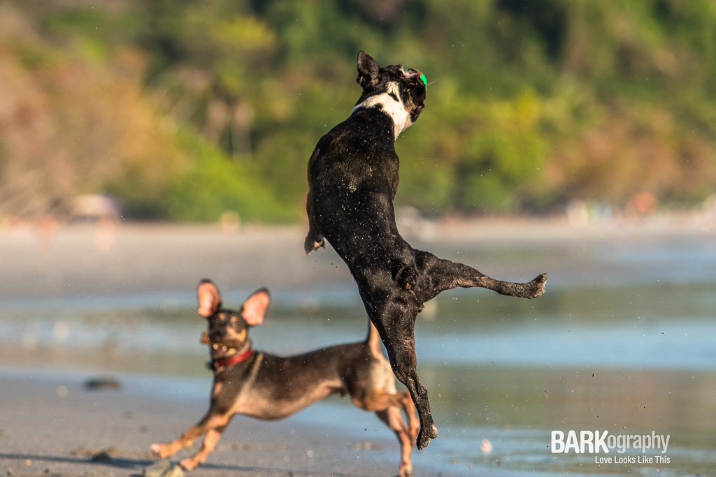 One of my favorite images from my time in Costa Rica. Romeo the Boston Terrier has a serious vertical leap and I had fun photographing him, I think Mickey the other dog is looking at him in amazement too.